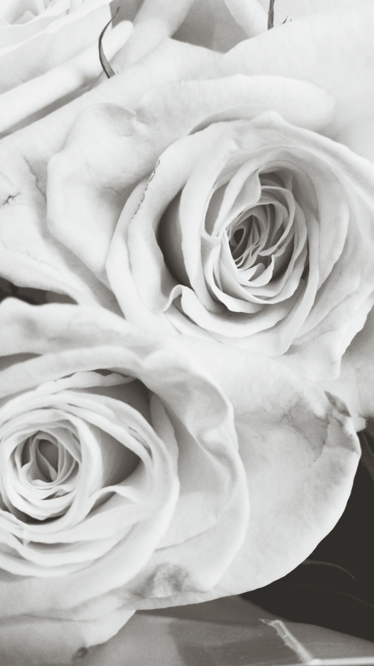 White Album Black & White Delicate Petals Flowerporn EyeEm Nature Lover Philadelphia Pennsylvania City Of Brotherly Love My Quirky Style Delicate Flowers Roses Intricate Nature Perspective White Flower