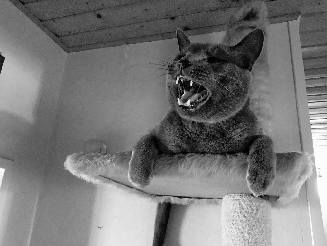 Pet Portraits One Animal Feline Indoors  Domestic Cat Russian Blue
