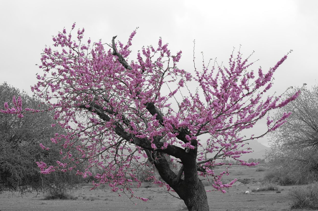 Selective Color Nature Great Morocco Beauty Hugging A Tree Purple Purple Flower Oujda Jerada