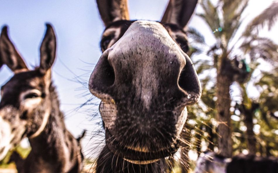 Beautiful stock photos of donkey, Animal Nose, Animal Themes, Close-Up, Day