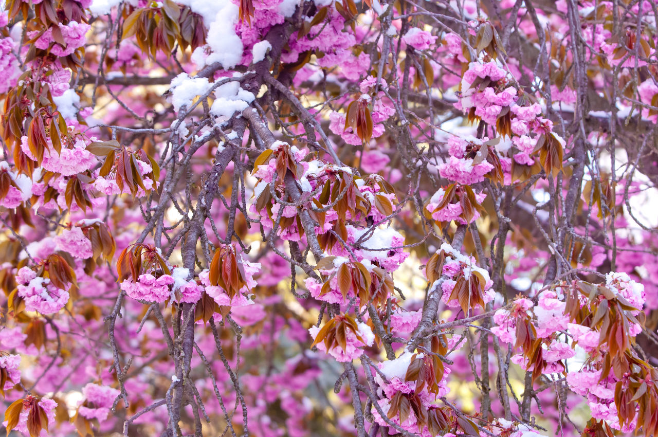 Blooming cherry trees, cherry blossom named Sakura in Japan April Beauty In Nature Blooming Cherry Blossom Cherry Blossoms Close-up Day Flower Freshness Full Bloom Japanese Culture March Melting Snow Nature No People Outdoors Pink Prunus Prunus Serrulata Purple Sakura Season  Serrulata Snow Spring
