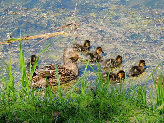 In Forest Park The Outdoors - 2016 Eyeem Awards Garden Photography Ducklings Spring 2016 Sankt-peterburg Lake Life Everywhere