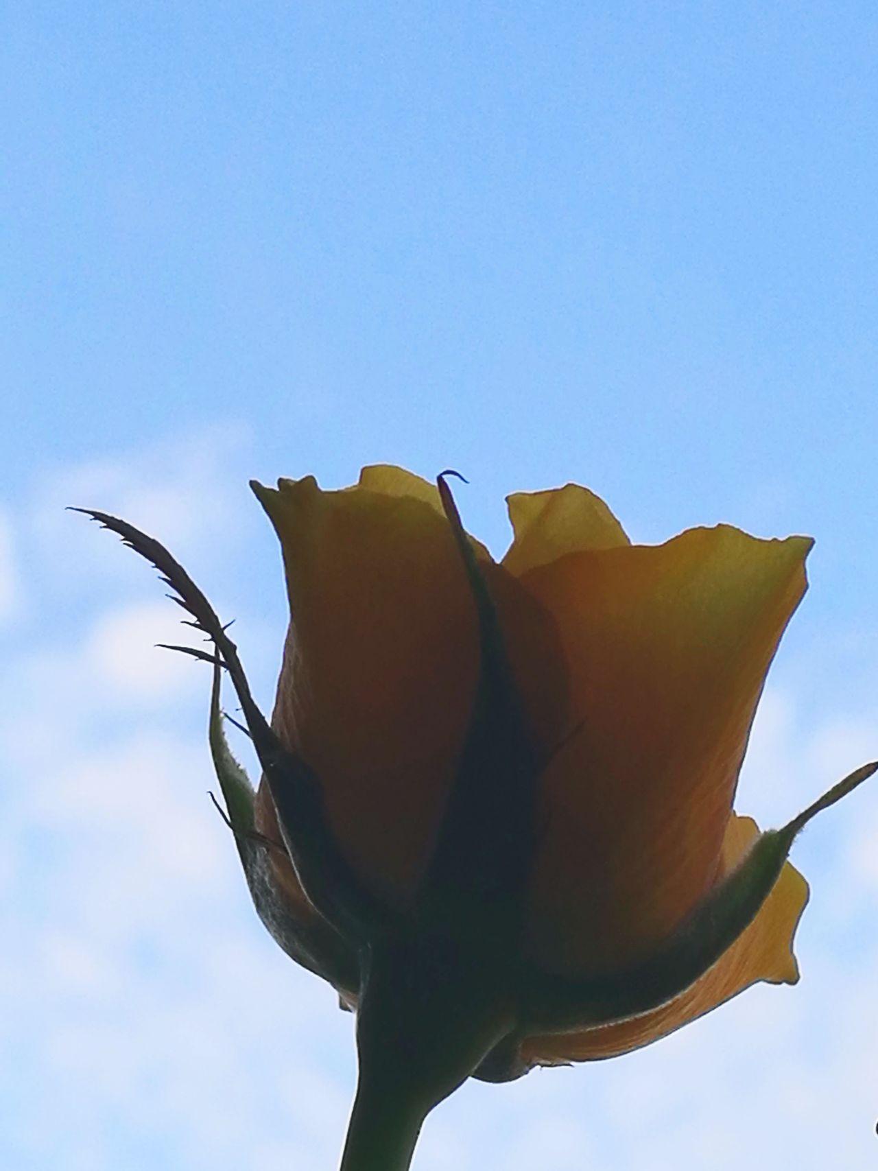 Sky No People Nature Day Blue Sky Bird Outdoors Yellow Flower Yellow Rose Beautiful Scene