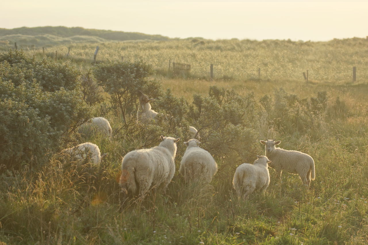 Flock of Sheep near Hirtshals, Denmark African Elephant Animal Themes Backlit Beauty In Nature Bush Day Feeding  Field Flock Of Sheep Grass Grazing Growth Herd Large Group Of Animals Livestock Mammal Morning Morning Light Nature No People Outdoors Plant Sheep Sunlight Wide Angle