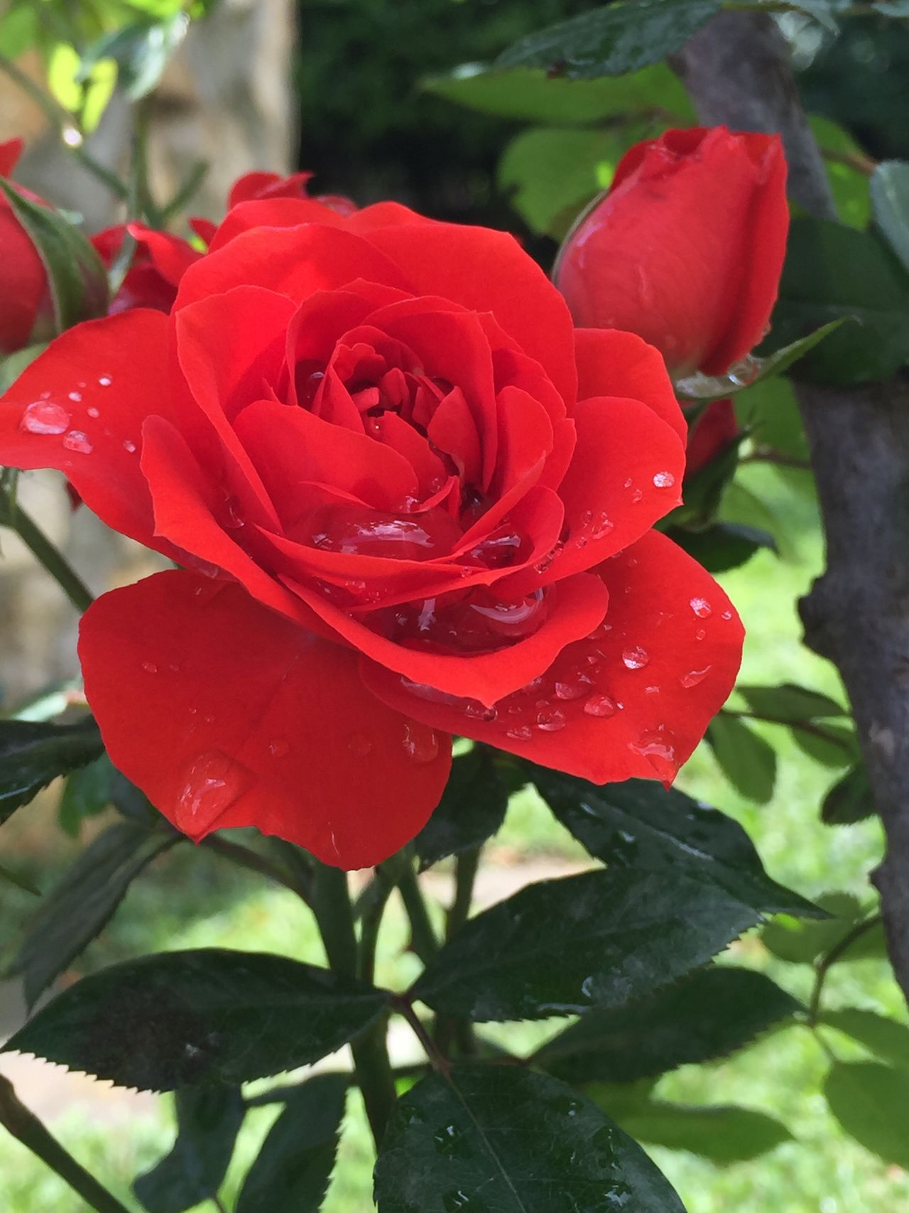 Flower Petal Nature Rose - Flower Beauty In Nature Growth Red Fragility Flower Head No People Freshness Plant Wet Drop Blooming Day Leaf Outdoors Water Close-up