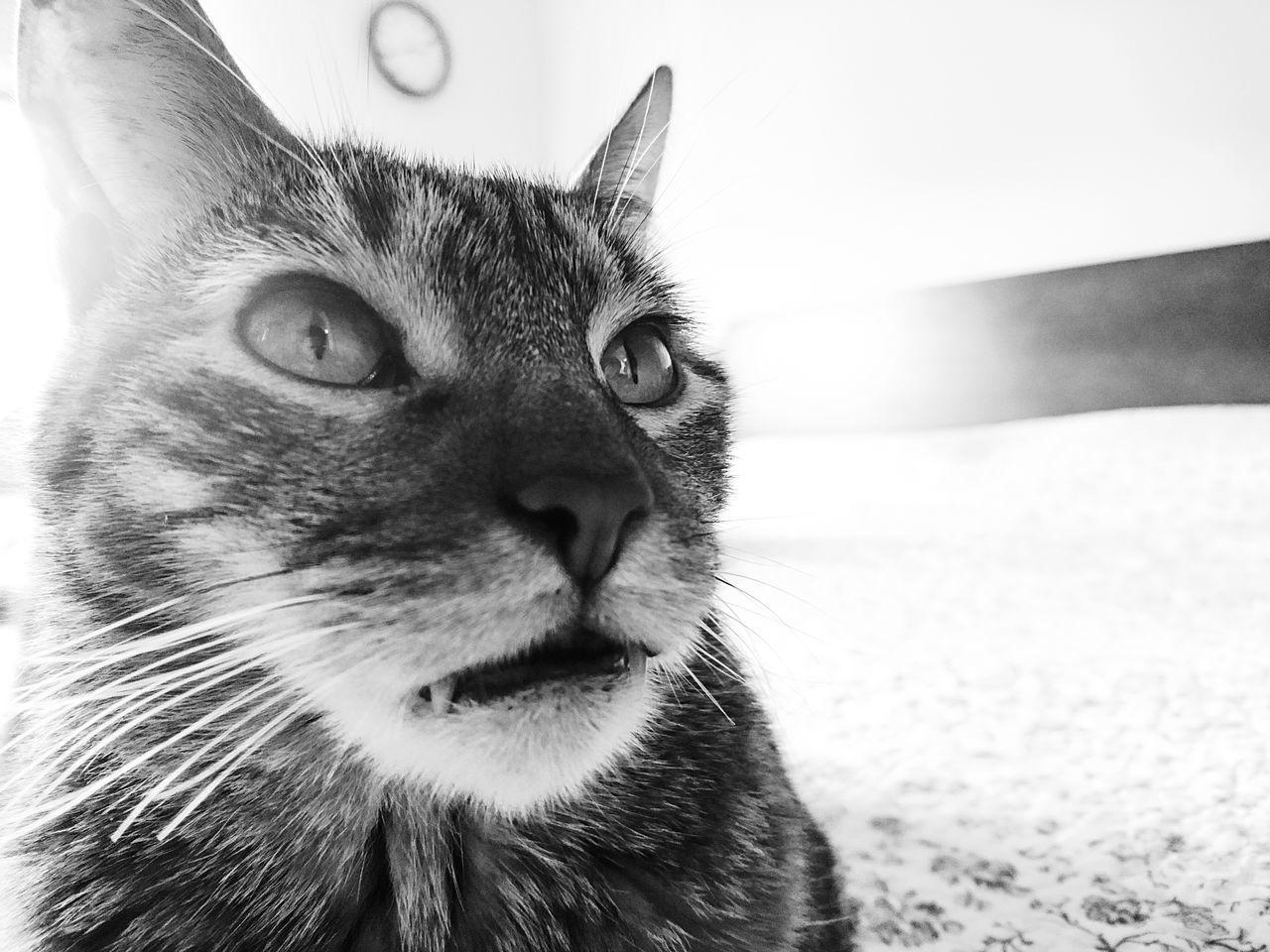 domestic cat, one animal, animal themes, pets, feline, mammal, domestic animals, whisker, no people, close-up, portrait, day, outdoors, nature