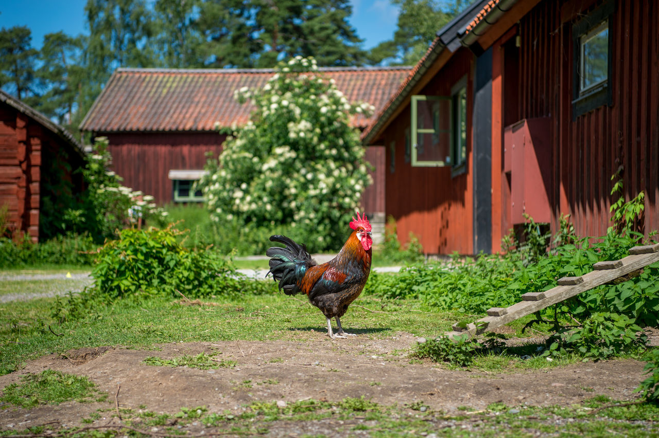 architecture, rooster, building exterior, chicken - bird, built structure, house, livestock, domestic animals, one animal, bird, animal themes, outdoors, day, no people, cockerel, nature, tree