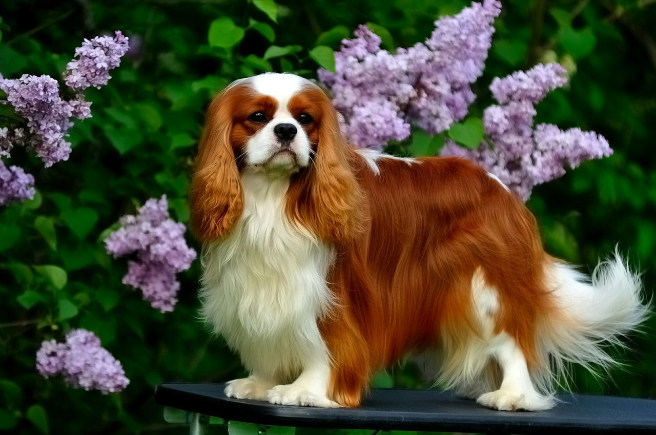 Amazing Grand Champion Leo Cavalier King Charles Spaniel Cavalierkingcharles Cavalierking Ckcs Dog Springtime Cavalierkingcharlesspaniel Dog Show Spring Flowers