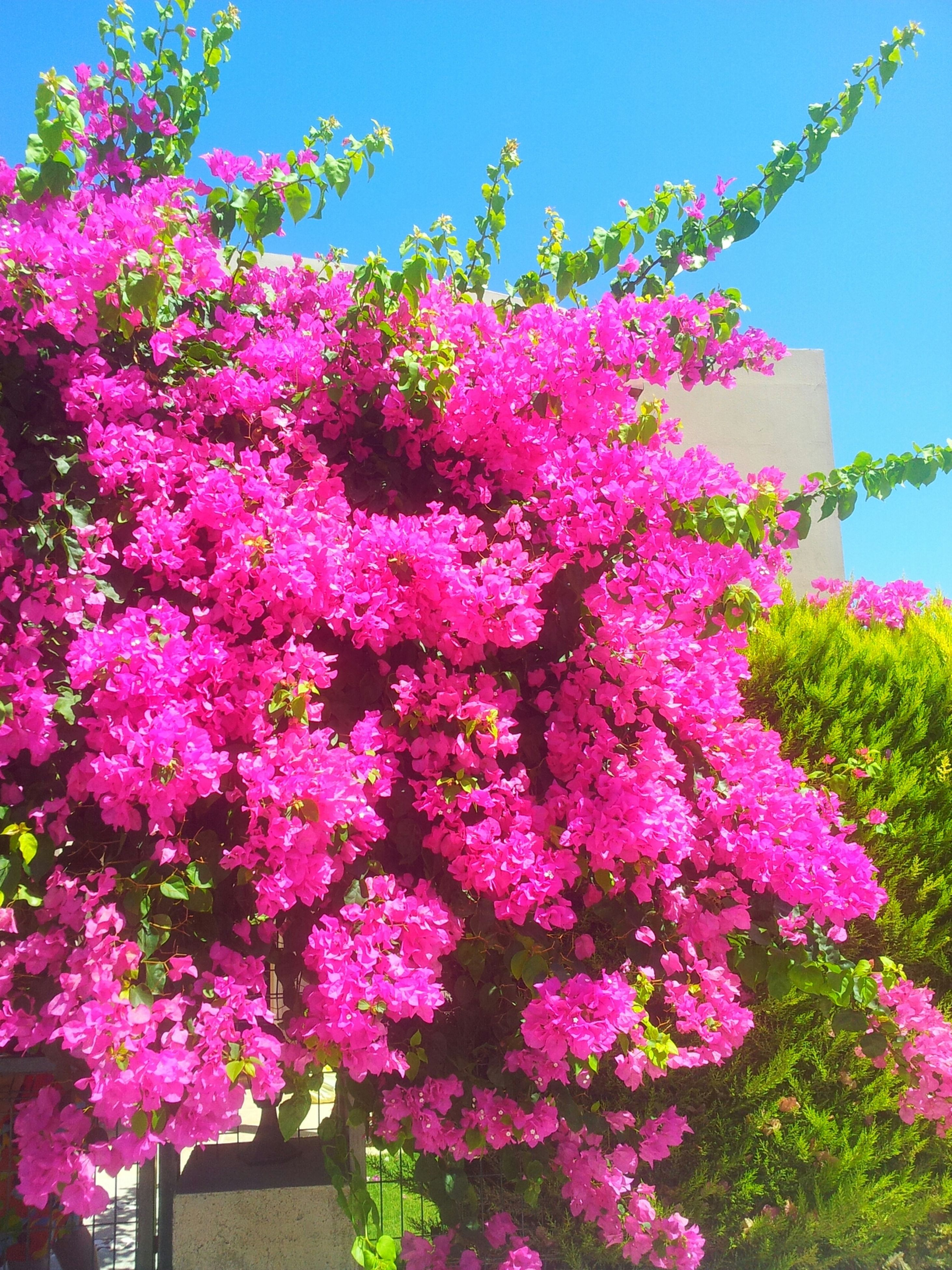flower, freshness, growth, fragility, pink color, clear sky, beauty in nature, tree, blooming, low angle view, nature, blossom, petal, in bloom, sunlight, plant, pink, blue, springtime, sky