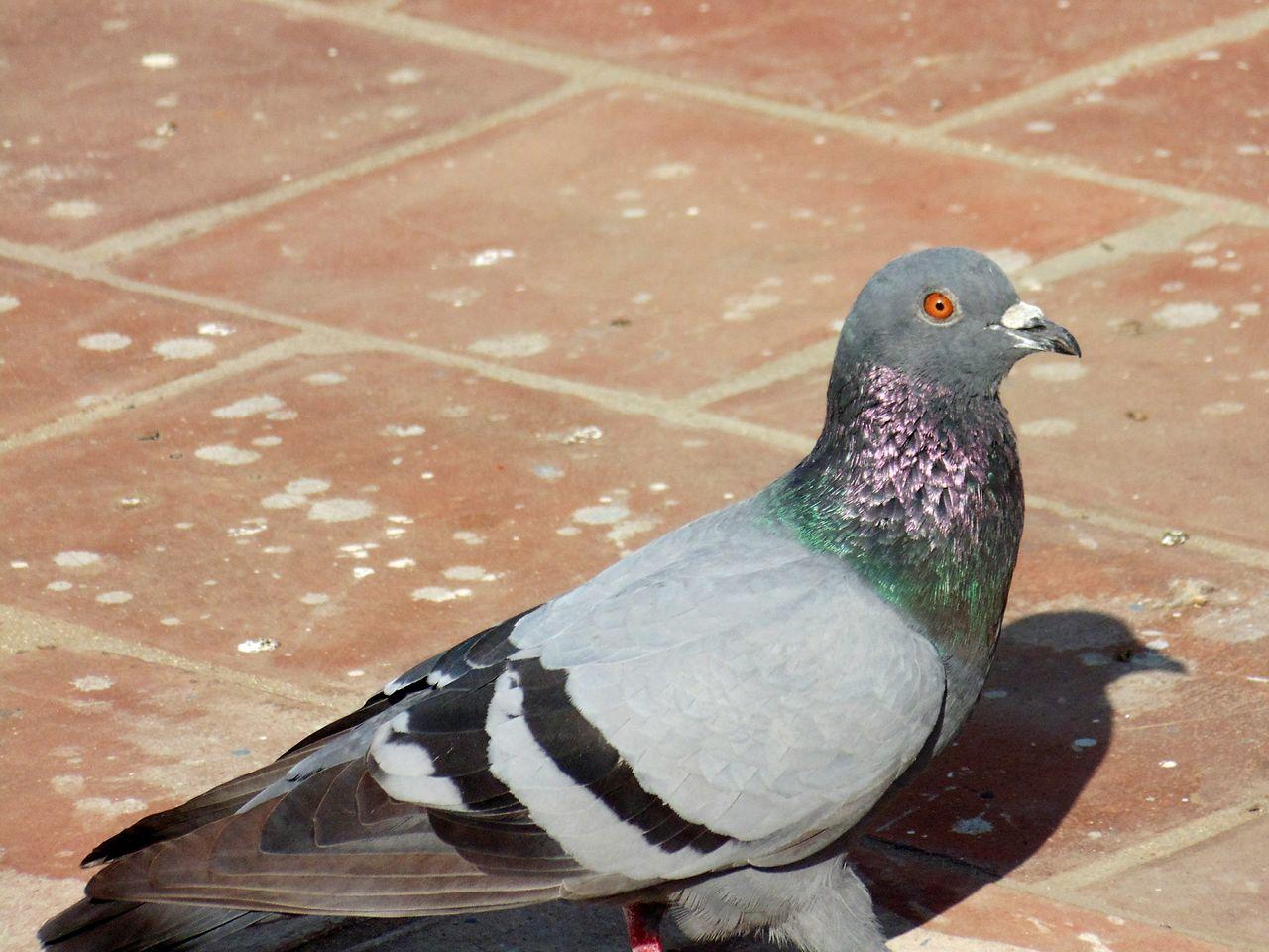 Beautiful stock photos of friedenstaube, Animal Themes, Animals In The Wild, Bird, Close-Up