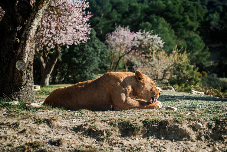 Lioness lie on a ground, sunny day and blooming almond trees on a background Almond Tree In Blossom Animals In The Wild Beauty In Nature Beauty In Nature Dangerous Animals Fauna Graceful Habitat Leo Lioness Lying Down Mammal Nature No People One Animal Outdoors Predator Quiet Safari Park Serene South SPAIN Sunny Day Tranquil Wildlife