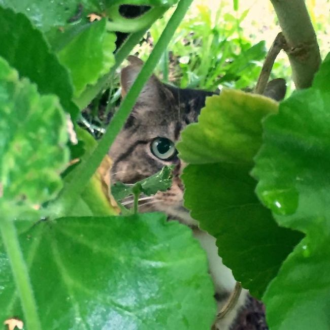 Animal Themes One Animal Leaf Green Color Domestic Cat Plant Cat Selective Focus Close-up Pets Looking At Camera Mammal Domestic Animals Zoology Growth Feline Whisker Animal Eye Nature Hiding