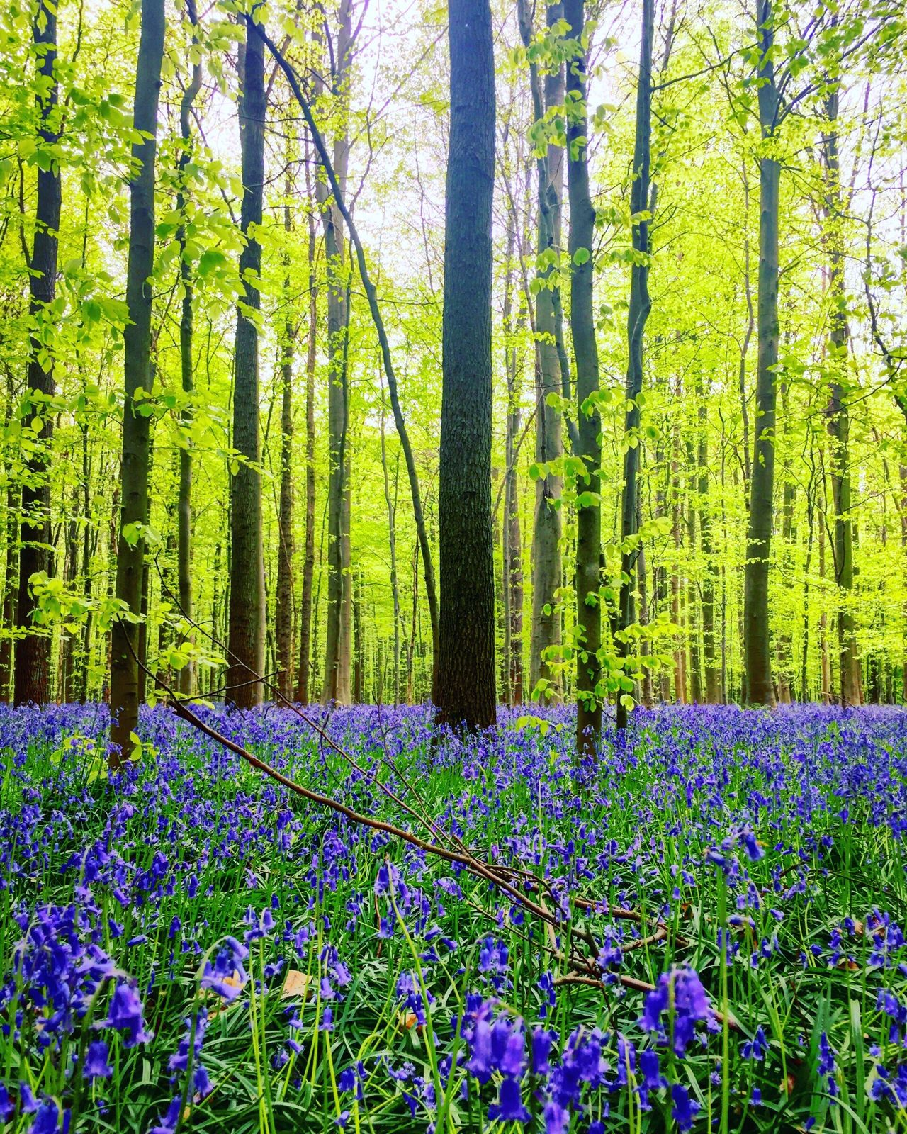Millions of purple flowers in a forest Nature Growth Purple Flower Tree Forest Beauty In Nature Green Color No People Scenics Outdoors Day Lush Foliage Tree Trunk Plant Tranquility Landscape Fragility Freshness Flower Head