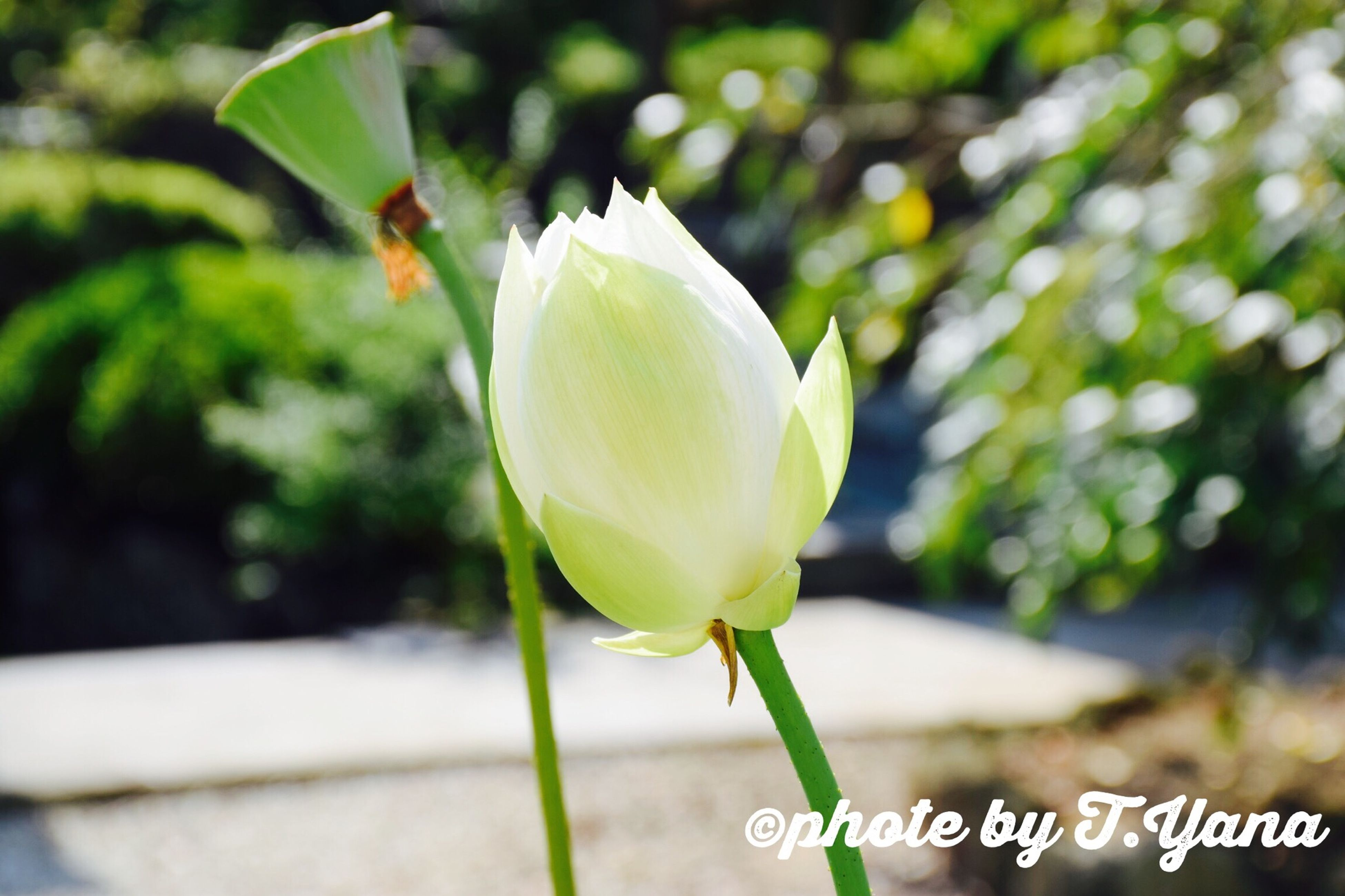 flower, petal, freshness, flower head, fragility, growth, focus on foreground, close-up, beauty in nature, nature, plant, bud, blooming, stem, leaf, single flower, white color, yellow, in bloom, blossom