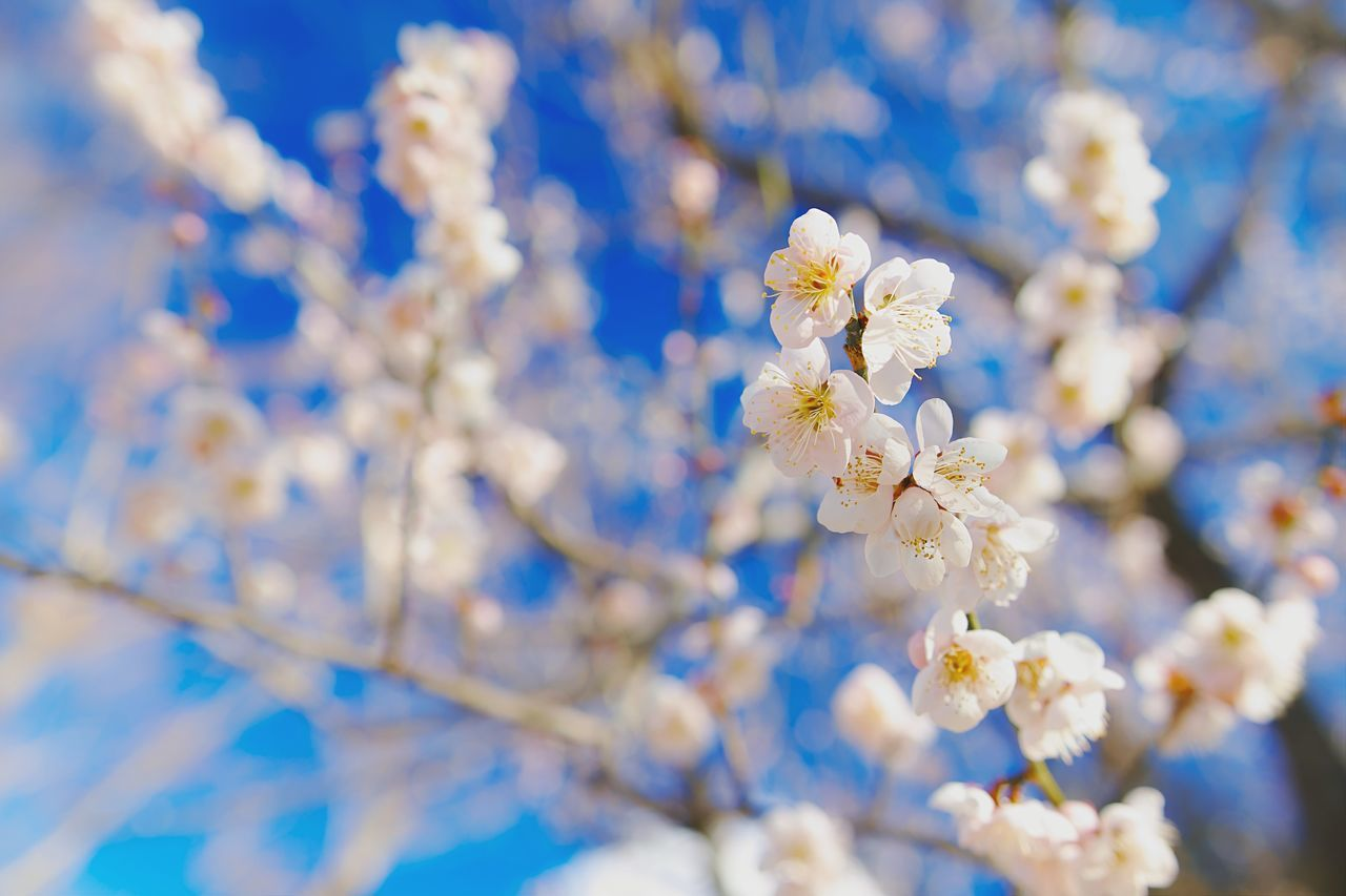 The Spring blooming Flower Beauty In Nature Nature Growth Close-up No People Blossom Fragility Tree Branch Outdoors Springtime Freshness Low Angle View Day Almond Tree Sky Flower Head Plum Blossom EyeEm Nature Lover Eeyem EyeEm Best Shots EyeEm Gallery Nature EyeEmNewHere