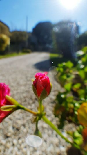 Flower Fragility Freshness Petal Focus On Foreground Growth Beauty In Nature Flower Head Pink Color Close-up Nature Plant In Bloom Stem Botany Springtime Rose - Flower Footpath Blossom Outdoors