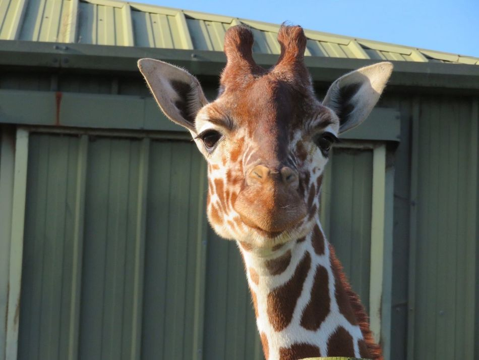 Giraffe Close up at Africa Alive Lowestoft UK Animal Themes Looking At Camera Giraffe Mammal Zoo Lowestoft EyeEmNewHere