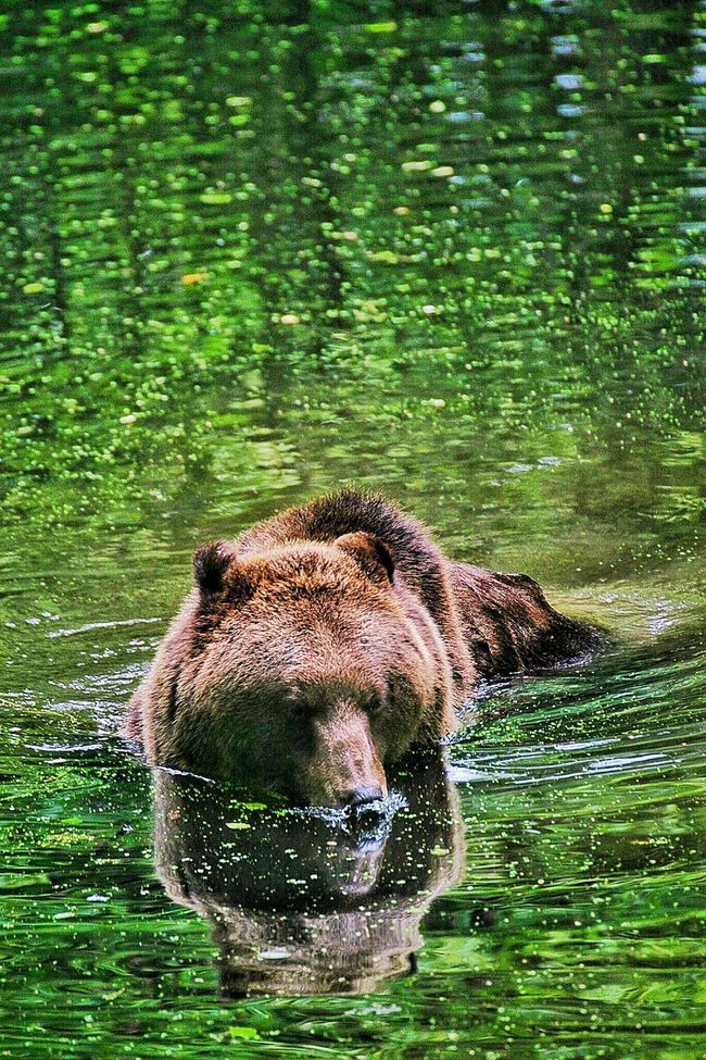Green Green Water Grizzly Bear Grizzly Bear In The Water Bear Brown Bear The Wild Survival Environmental Conservation