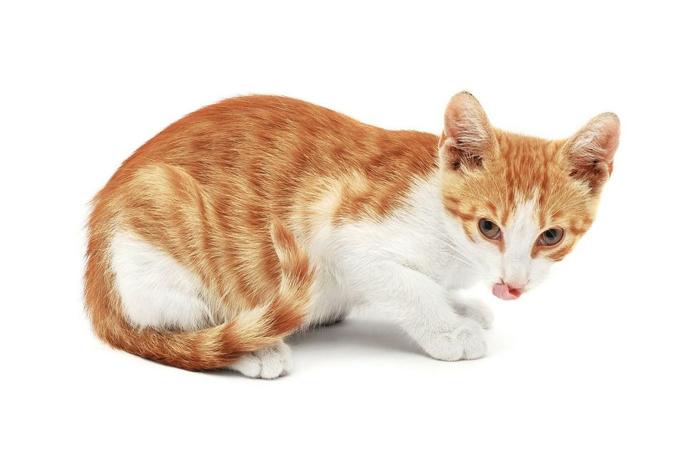 White Background Cat Lick Your Lips Licking Chops Ginger Ginger Cat Hungry Funny Tounge Out  Kitty Young Sneaky Evil