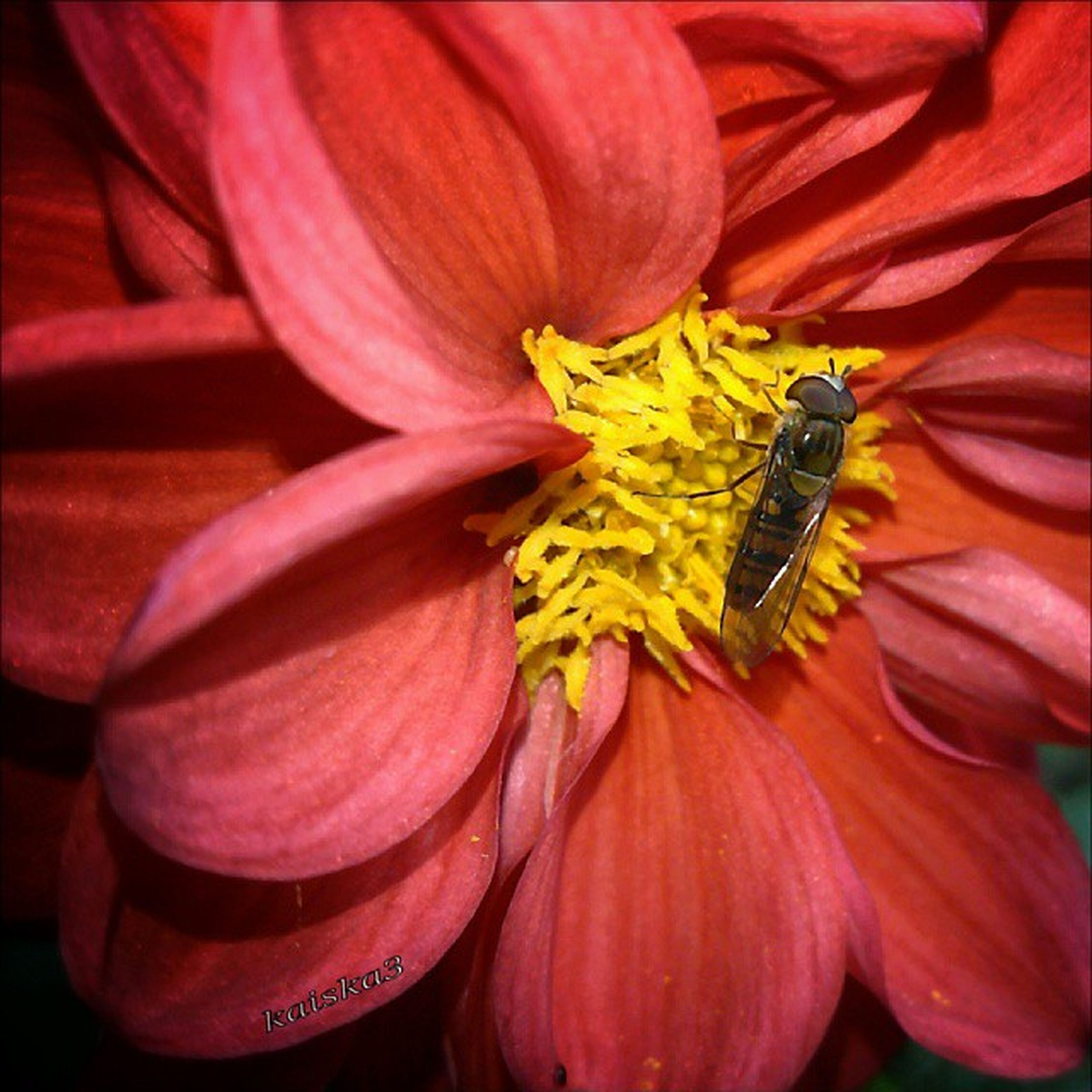 flower, petal, flower head, freshness, insect, animal themes, fragility, one animal, animals in the wild, wildlife, close-up, beauty in nature, pink color, pollen, yellow, nature, stamen, single flower, pollination, growth