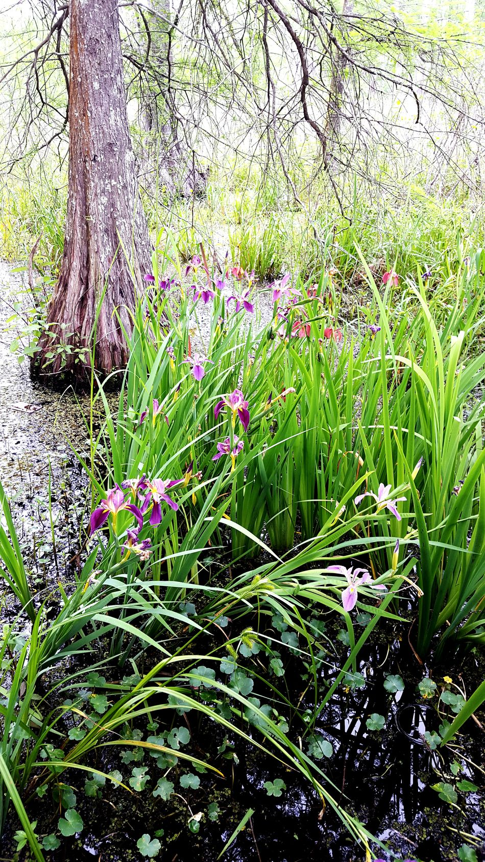 Scene from a swamp Spring Into Spring Flower Blossom No People South Louisiana Samsung Galaxy S6 Edge Greenery Daylight Botany Trees Beauty In Nature Swamp Swamp Photos Swamplands Swamp Flower Swamp Walk