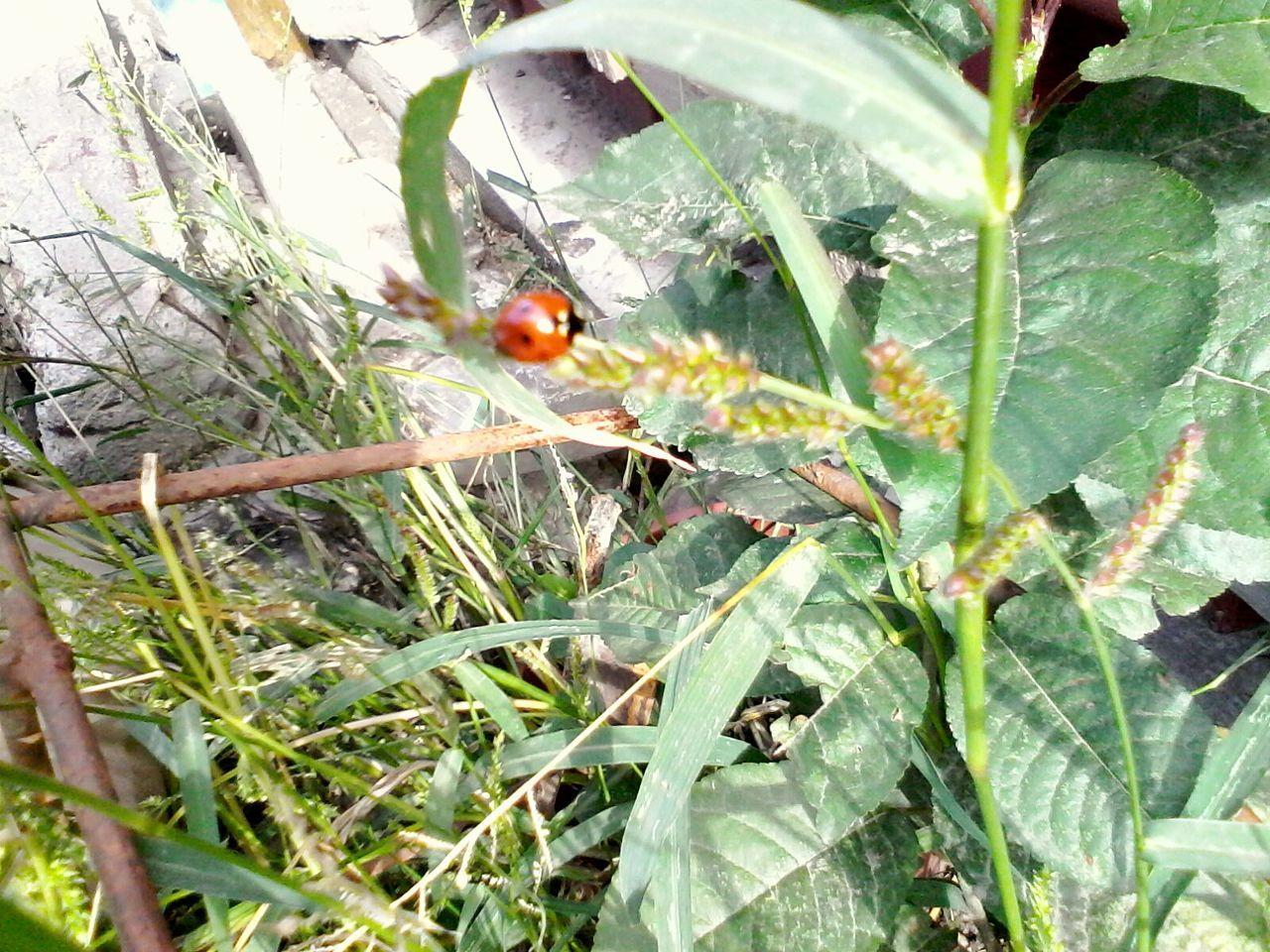 Ladybug Plants Ladybeetle Wolfzuachis Eyeem Market