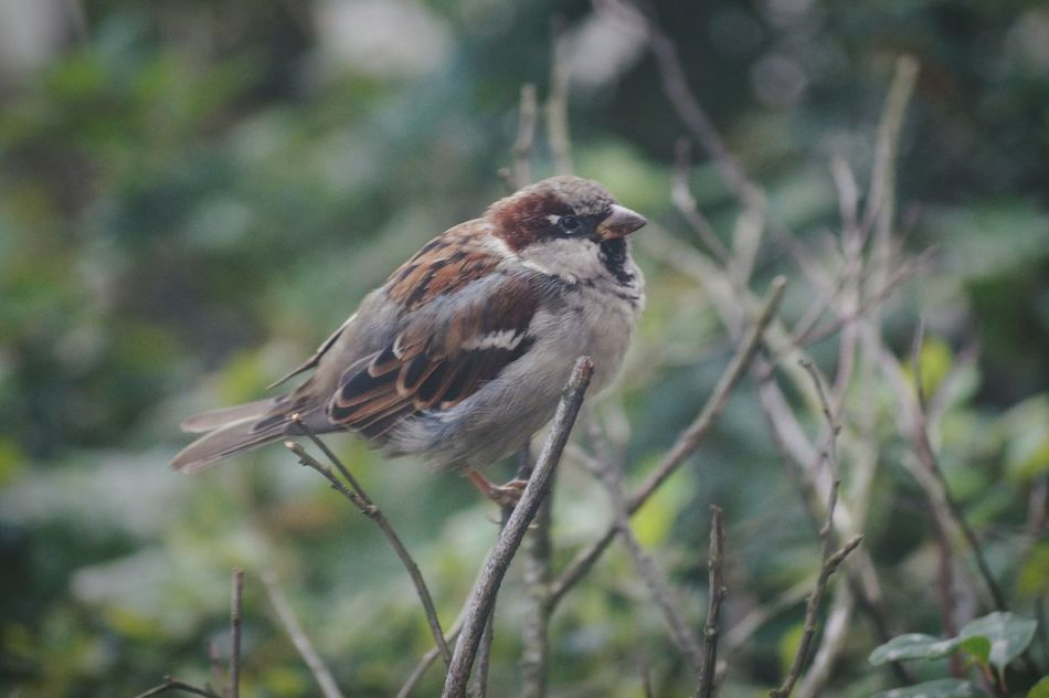 House Sparrow EyeEm Birds Swedish Nature Sweden Solna Hagalund Showcase August Colour Of Life Macro August 2016 Niklas Maximum Closeness My Year My View