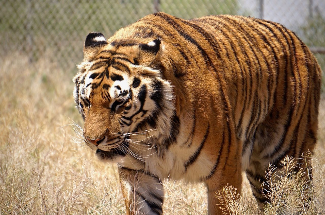 Dare to challenge the king.. One Animal Animals In The Wild Animal Wildlife Tiger Animal Themes Day Outdoors Nature No People Mammal Close-up Grass