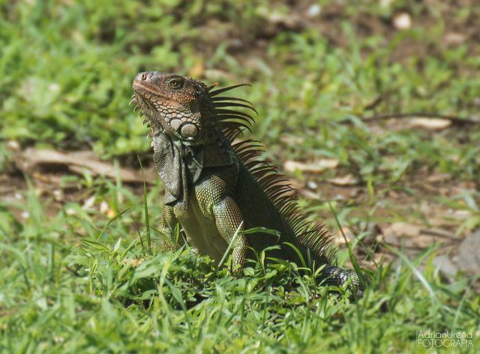 Reptile Lizard Animal Wildlife Iguana Animals In The Wild Nature Grass One Animal No People Outdoors Day Animal Themes Close-up Adrianureña Costarica Costa Rica❤ Costa Rica