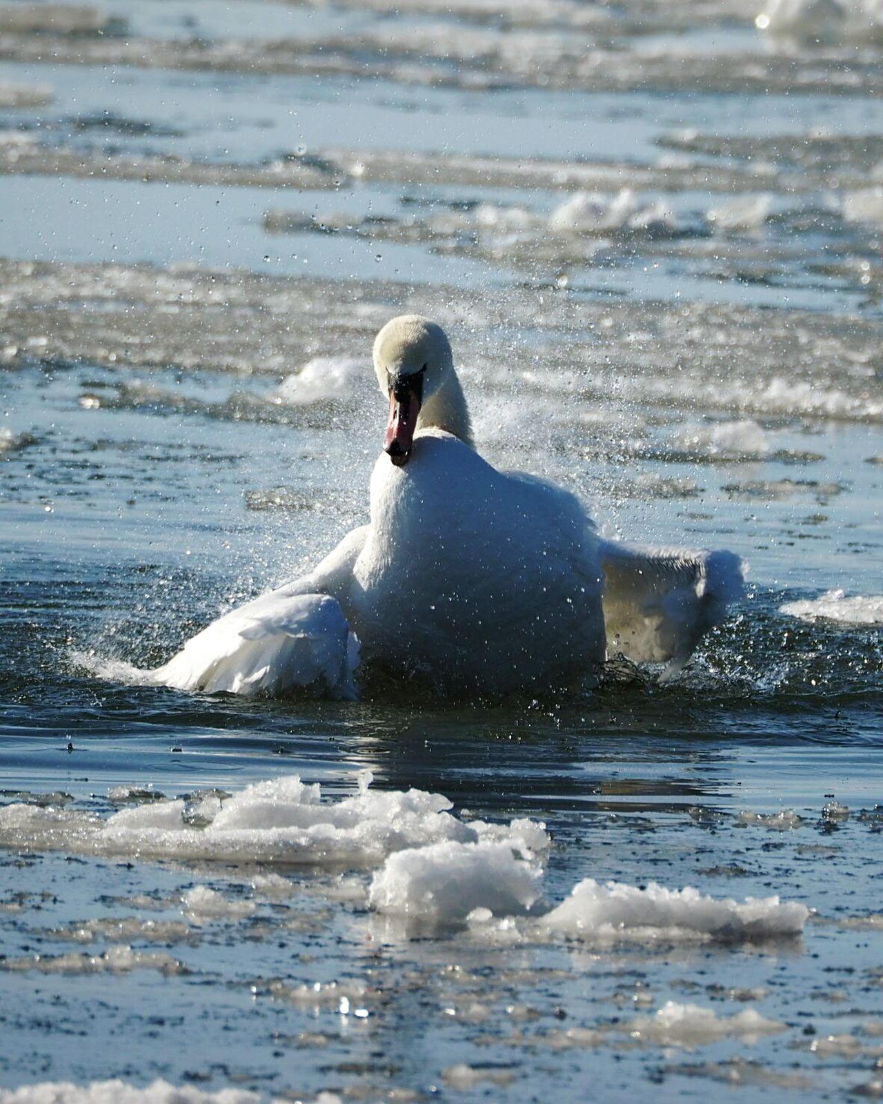 Water Sea Swimming Nature One Animal Animal Themes Frozen Sea Sea Bird Bathing Swan Spread Wings Spreading Wings Swan Winter Nature Outside Water Drops Splashing In Bath Splashing Swimming Animal Sunlight Beautiful Nature Close-up Full Length Animal Wildlife Animals In The Wild Bird