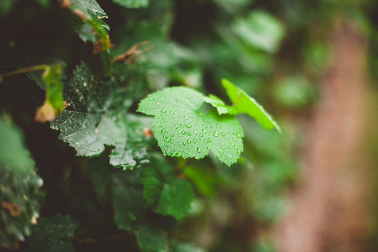 Atmospheric Mood Beauty In Nature Close-up Day Freshness Green Color Growth Leaf Leaves Nature No People Outdoors Plant Rain Rain Drops Rain Drops On Leaves Summer Rain