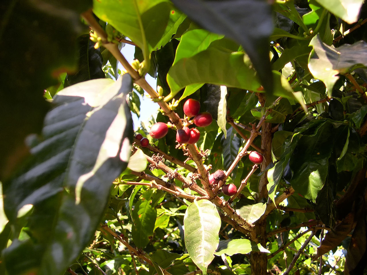 Beauty In Nature Close-up Coffee Beans Coffee Plant Food And Drink Fruit Green Color Kaffee Pflanze Kaffee Rot Pflan Leaf Low Angle View No People Red Coffee