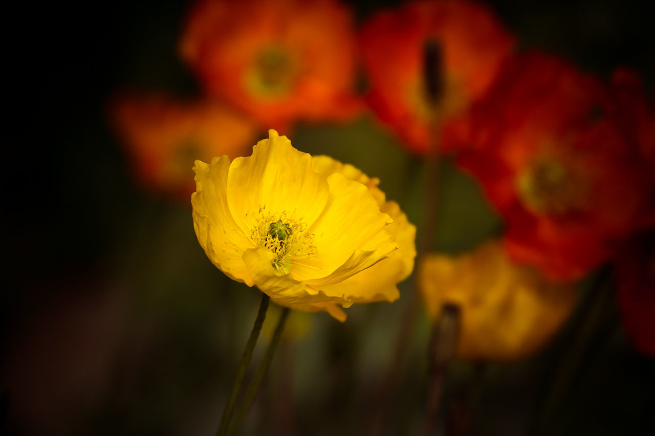 Yellow Poppy Animal Themes Animals In The Wild Beauty In Nature Blooming Blossom Botany Close-up Flower Flower Head Focus On Foreground Fragility Freshness Growth In Bloom Nature Petal Plant Poppies  Relaxing Single Flower Summer Vibrant Color Wildlife Yellow Yellow Flower
