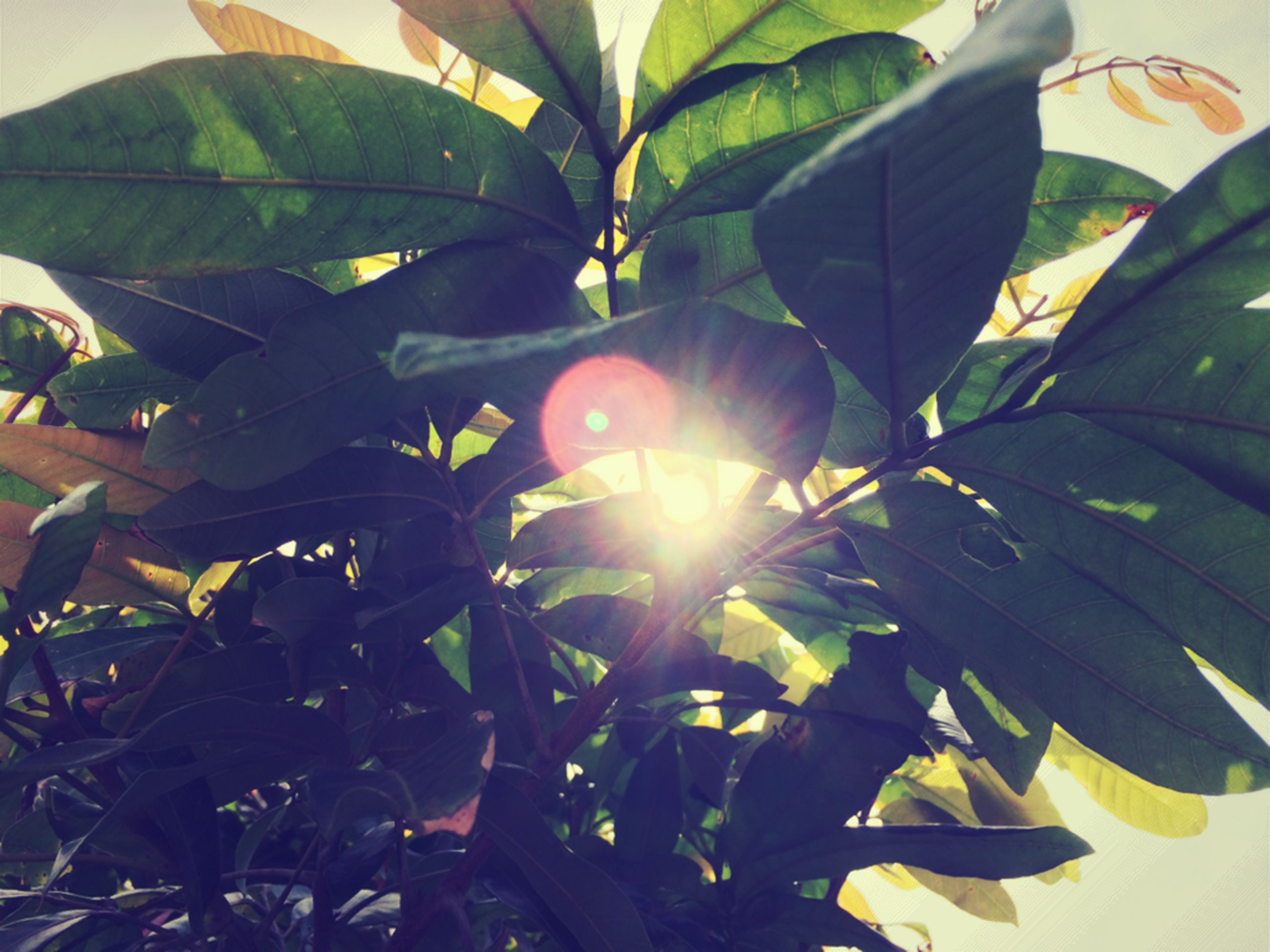 leaf, sun, sunlight, growth, sunbeam, low angle view, lens flare, nature, tree, beauty in nature, plant, green color, close-up, tranquility, day, sunny, outdoors, sky, branch, no people