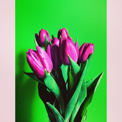 Easter Ready some Tulips to brighten up this grey day 💚💜💚💜💚💜💚 Green Purple Purple Flower Minimalism IPhoneography Showcase March Close Up Inspire Front View EyeEm Best Shots Photooftheday Amaturephotography Flower Collection Iphonephotography Bright Colors Bold Neons, Bright Pastels