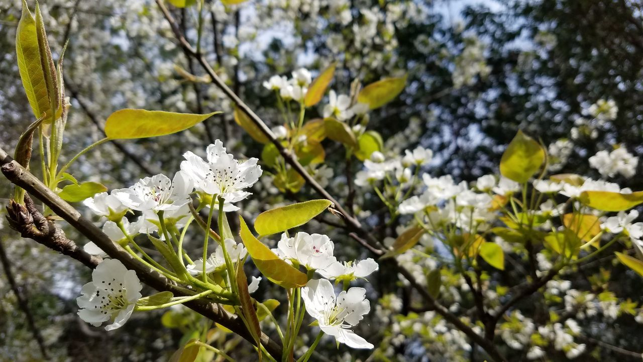 flower, fragility, growth, nature, freshness, white color, beauty in nature, blossom, petal, botany, tree, apple blossom, branch, flower head, springtime, day, no people, blooming, outdoors, close-up