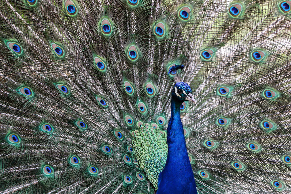 Beautiful stock photos of peacock, Animal Crest, Animal Themes, Animal Wildlife, Animals In The Wild