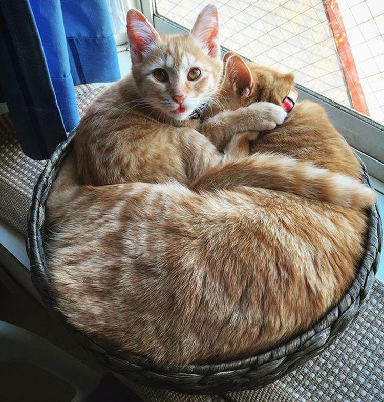 Cat Neko ねこ 猫 ねこ Cats スコティッシュフォールド Scottishfold 茶トラ ロロ Lolo コケティッシュフォールド コケティッシュホールド Piopio Pio ピオ 完成形😆😸👍さっき見たらこんなになってた…今の子猫なピオだからいいけど…半年後は無理だね💕 かご猫