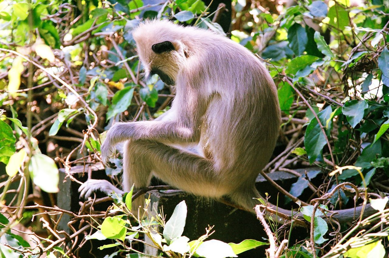 Tufted gray langur (Semnopithecus priam), also known as Madras gray langur, and Coromandel sacred langur - monkey in Sri-Lanka sitting Beauty In Nature Close-up Day Film Film Camera Film Is Not Dead Film Photography Filmcamera Filmisnotdead Filmphoto Filmphotography Grass Green Color Langur Mammal Monkey Monkey Business Monkeys Nature Nature No People Outdoors SriLanka Wildlife Young Animal
