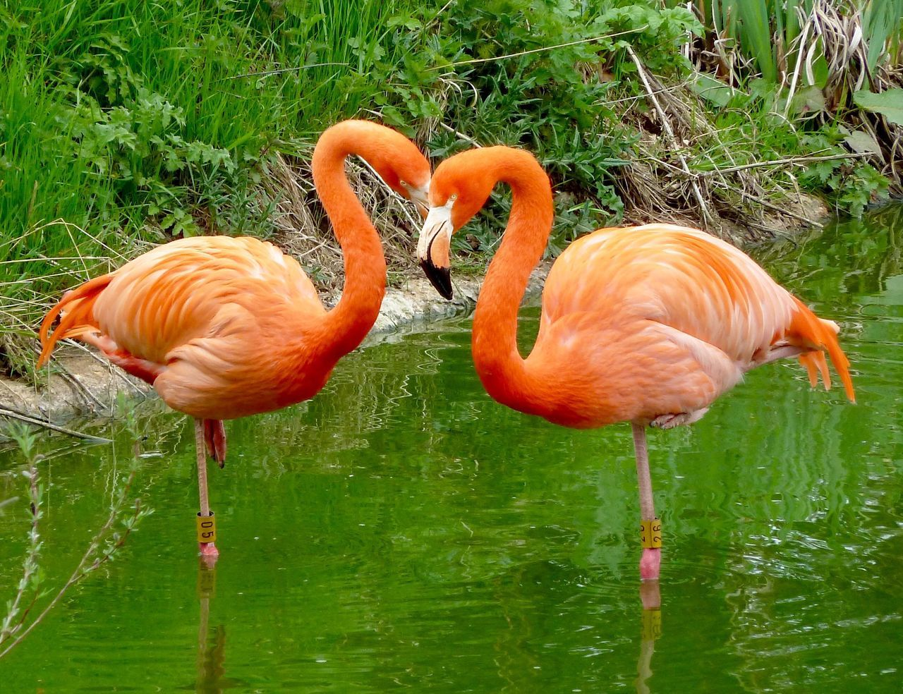 Flamingos Whipsnade Zoo Love Flamingo Bird Animals In The Wild Orange Color Animal Themes Animal Wildlife No People Two Animals Nature Water Grass Outdoors Day Lake Full Length Beauty In Nature