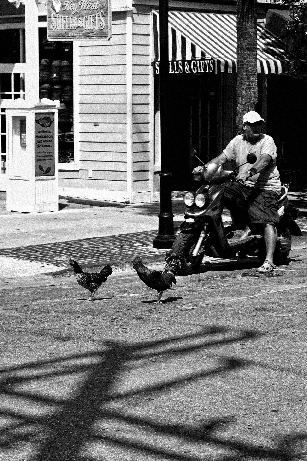 Black And White Chickens Adapted in the City Day Florida Life Men Outdoors Scooter Shadows