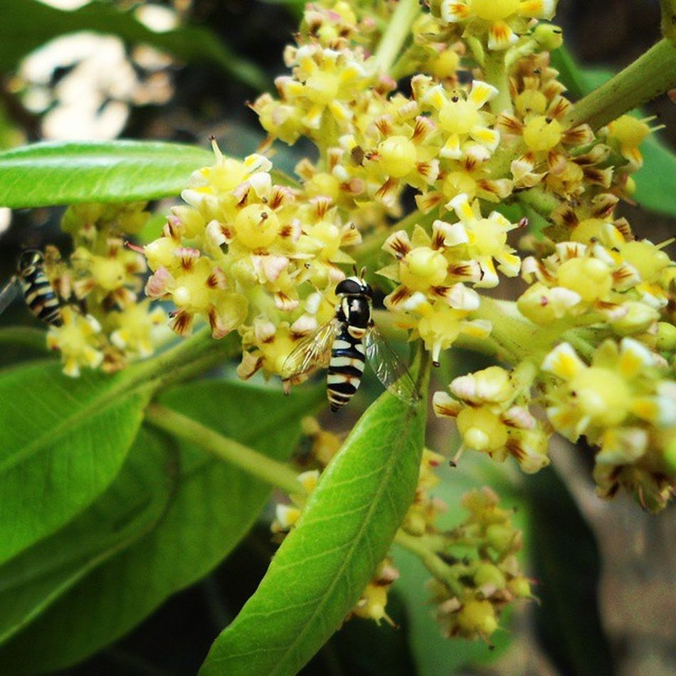 Mango Tree starts Budding ,Attracting Insects