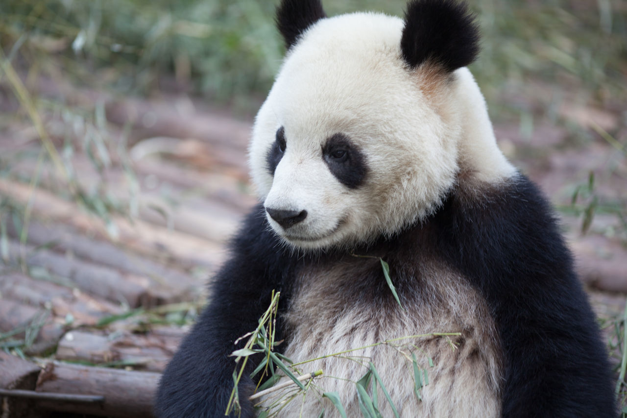 Beautiful stock photos of panda, Animal Behavior, Animal Themes, Animals In The Wild, Bamboo - Plant