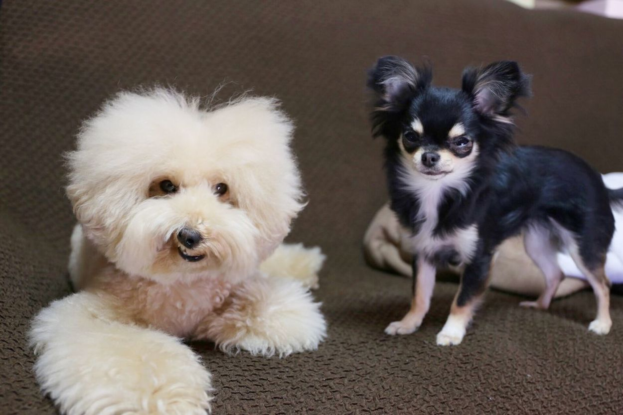 Cutedogs Cute Pets Toypoodle My Toypoodle I Love My Dog Dogs DogLove Pet Smile Smile Dog