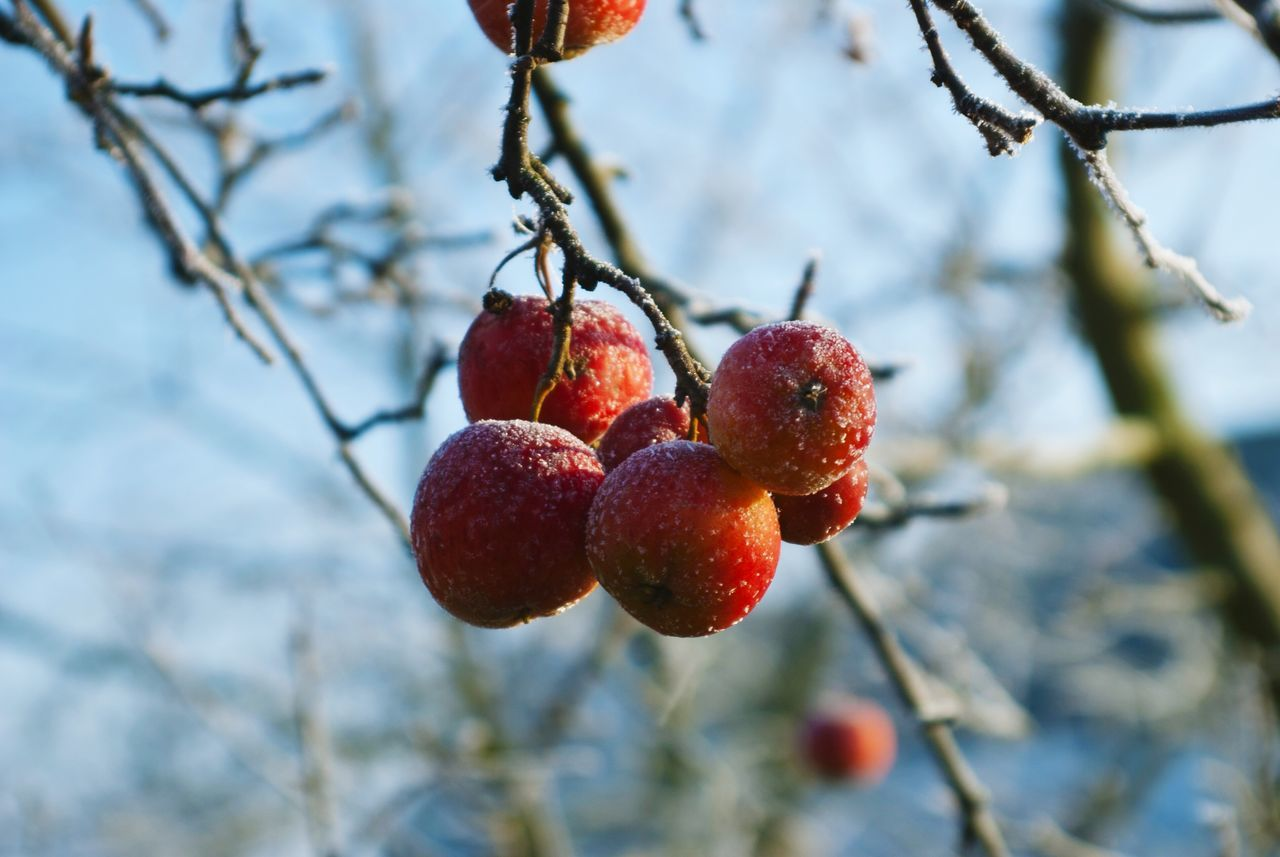fruit, food and drink, tree, berry fruit, focus on foreground, red, branch, outdoors, day, growth, freshness, nature, close-up, food, healthy eating, no people, hanging, beauty in nature, low angle view