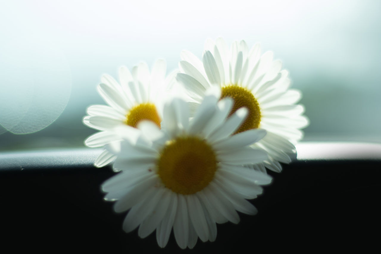 These Photos are all shot in studio. Still life photography Beauty In Nature Black & White Close-up Daisies Daisy Day EyeEm Best Shots Flower Flower Head Flowerporn Flowers Fragility Freshness Howard Roberts Light And Shadow Nature Nature On Your Doorstep Naturelovers No People Petal Petals Stamen And Pistil Still Life Still Life Photography Studio Photography
