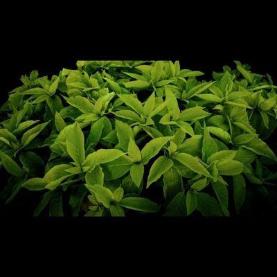 @tagram_app Tagram_app Plant Plants Green Leaf Leafs Lea Nature Bloom Flower Bush Natural Petal Petals Stem Color Colour Garden Beautiful Pretty Beauty Colours Growing Planta Plantas green