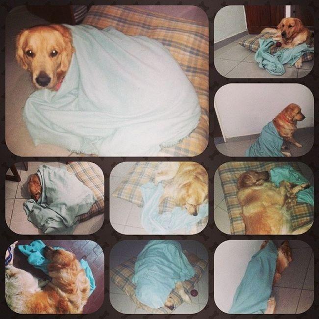 ?Aron con su colchita? Dog Golden Retriever Colcha sleep dormido cute