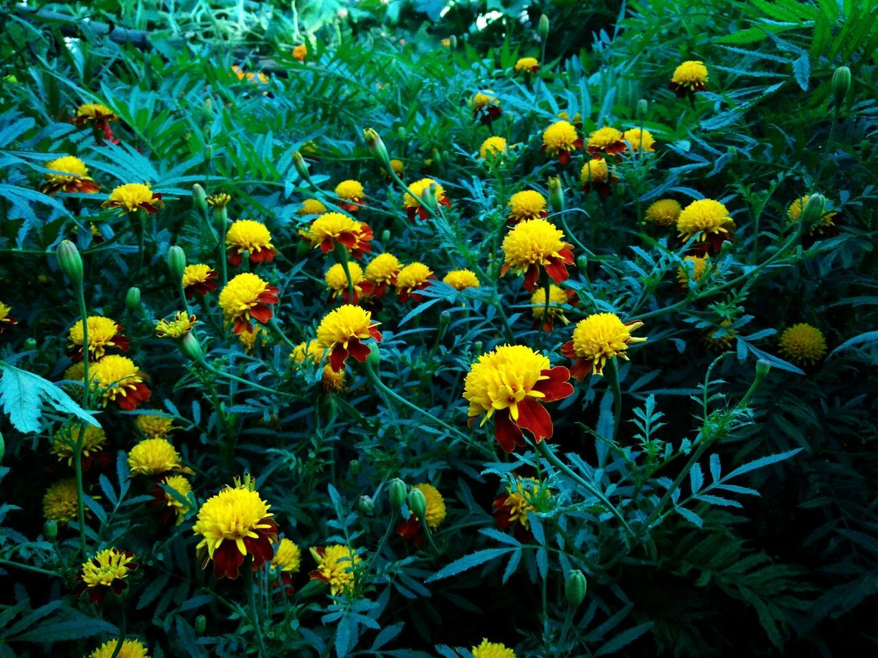 Marigold Marigold Flower Yellow Beauty In Nature Outdoors No People Green Color Freshness Plant