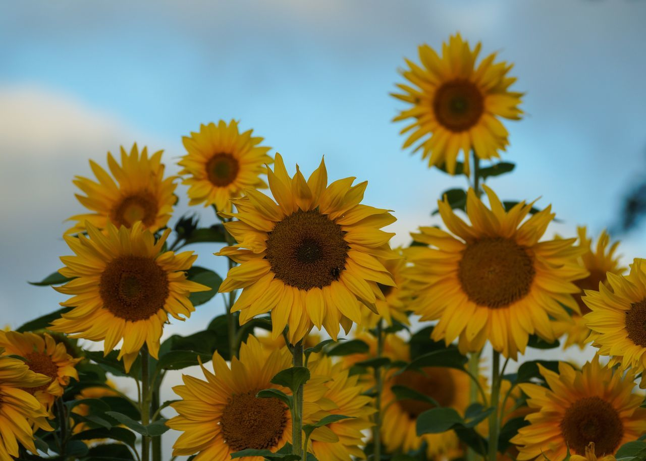 Colour Of Life Sunflower Sunflowers Bright Cheerful Yellow Happy Nature Blue Sky Flowers Cheshire